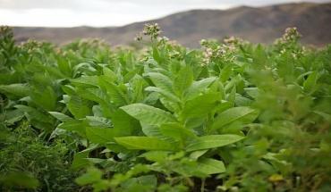 Το φυτό του καπνού στην μάχη κατά του νέου καρωνοϊού