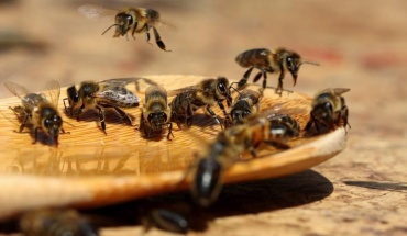 Ερευνητές εκπαίδευσαν μέλισσες για να εντοπίζουν μολύνσεις COVID-19